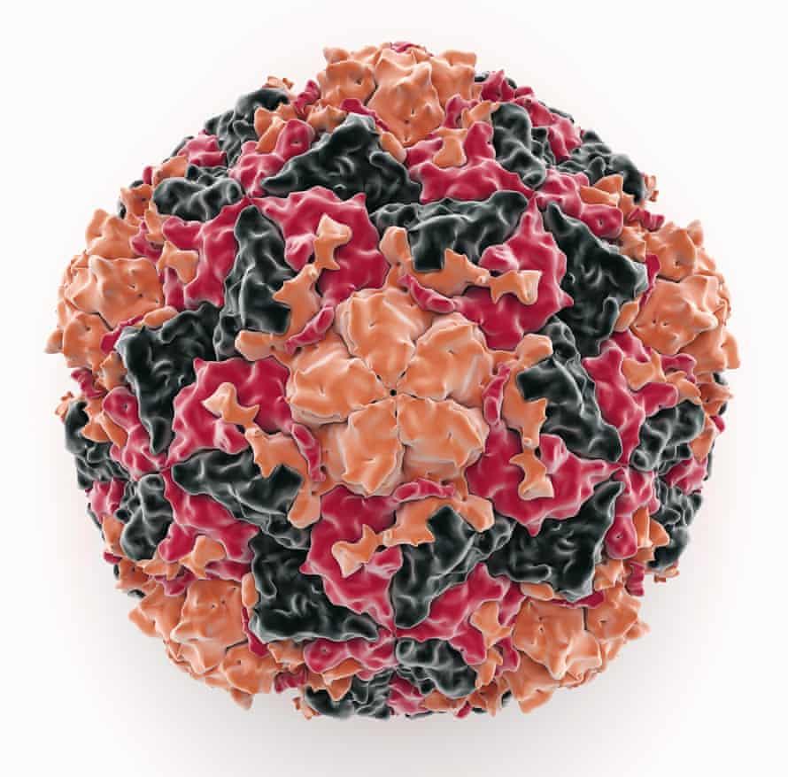 Human rhinovirus.