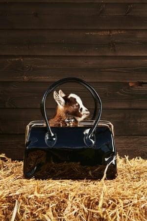 A West African Dwarf Goat framed by the handle of a smart handbag.