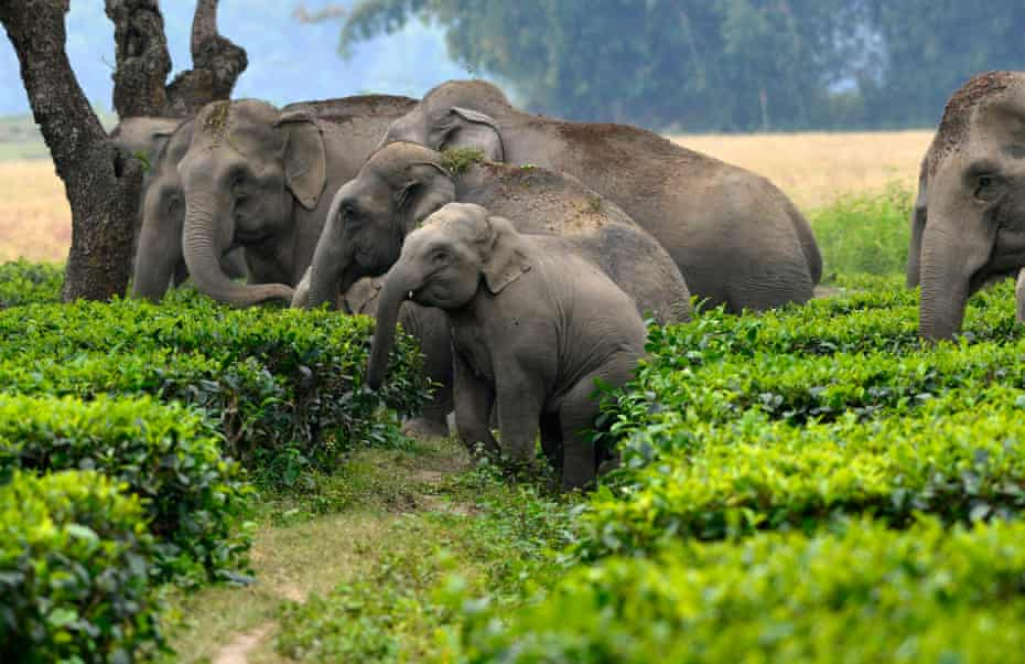 Elephants cross a tea garden to enter a paddy field in Assam, India. Conservationists are finding new, wildlife-friendly ways to keep herds away from crops.