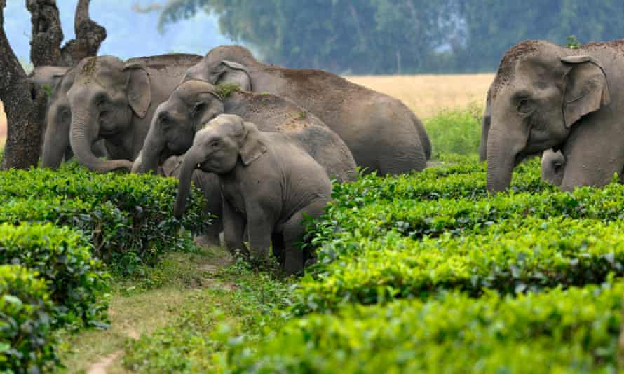 A herd of wild elephants along with newborns cross a tea garden in Sonitpur district of Assam, about 300 km from Guwahati city, India