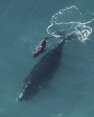A right whale calf and its mother swimming in the Atlantic Ocean near Sapelo Island, Ga.