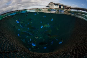 Tropical fish pictured in sea pens, Ambon, Indonesia.