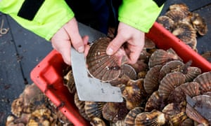 Fisherman holding a scallop above a crate of scallops.