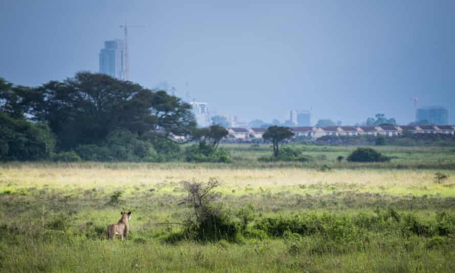 KENYA, Nairobi: A lioness stalks a small group of buffalo through grass made long and lush by seasonal rains in Nairobi National Park, 17 May, 2015.