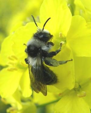 Ashy mining bee (Andrena cineraria) on oilseed rape