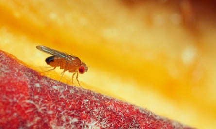 A fruit fly on a pear. Edward O Wilson posits a world in which we will have eradicated all the fly's natural enemies, compromising our ability to fight it.