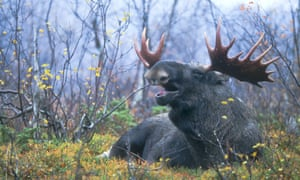 A moose with big antlers