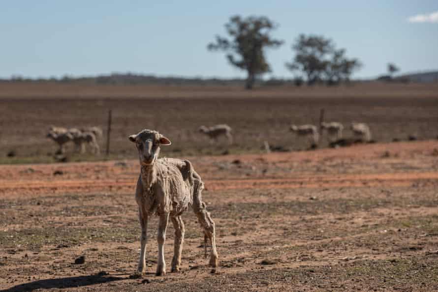 A sheep weak with hunger at Maryborough