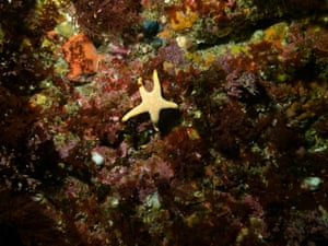 A Seastar Nectria macrobrachia among a carpet of life under a ledge on the Great Southern Reef