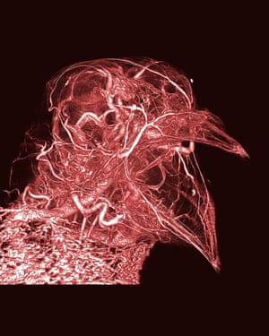 Pigeon thermoregulation  Bright, dramatic and intricate, this image reveals the network of blood vessels in a humble pigeon. Produced from CT scans, the image was made possible by the creator's development of a novel contrast agent – a type of substance that helps to improve the visibility of structures within the body in medical imaging.