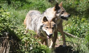 European gray wolves on June 18, 2015 in the semi-wildlife animal park of Les Angles, southwestern France.