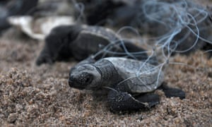 Millions of olive ridley turtles are hatching and entering the Bay of Bengal, one of the mass nesting sites in the Indian coastal state of Odhisa.