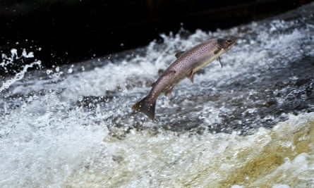 Clean rivers are vital for most wildlife, including salmon, above, returning from the Atlantic to spawn in UK rivers.