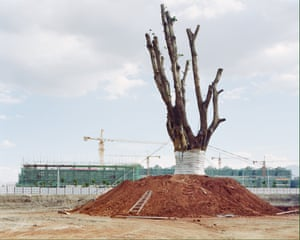 Frank, a 300-year-old tree in a construction site.