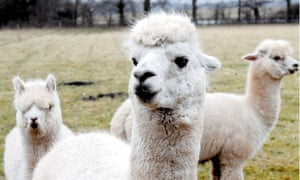 Have you heard our new poems? … alpacas