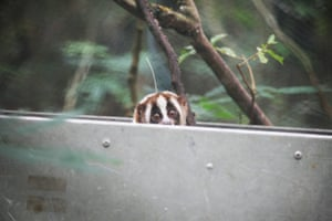 A slow loris pokes its head out of its transportation box to check out its new surroundings in Java, Indonesia