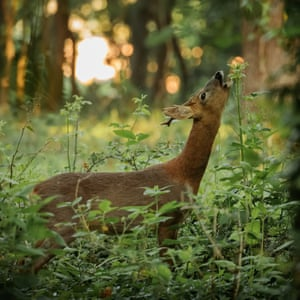 Deer in the woods stretching its neck up to graze on a tall plant