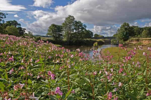 Himalayan balsam (impatiens glandulifera) flourishes in Devon, UK.