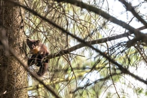 A pine marten kit branches out from the family nest on a summer evening near Selkirk in the Scottish Borders