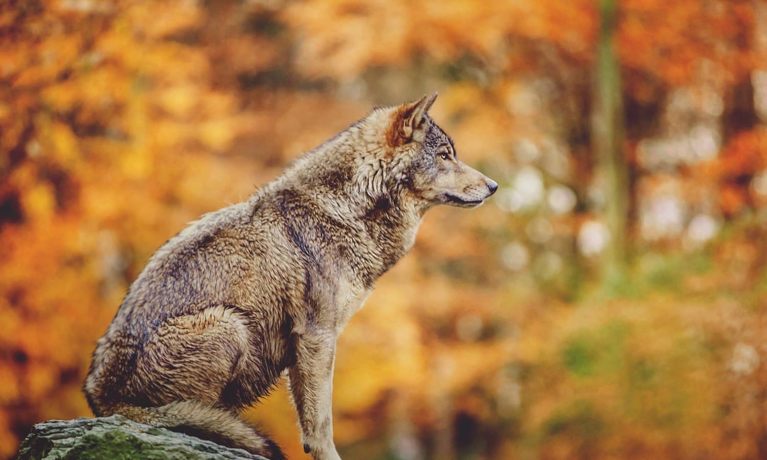 Landscape of fear: why we need the wolf – The Long Read