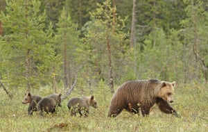 A family of Scandinavian brown bears in Sweden