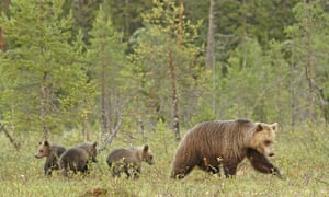 Staying together longer increases the survival chances of both mother and cub by a factor of four. 'Man in now an evolutionary force in the lives of bears,' said one researcher.