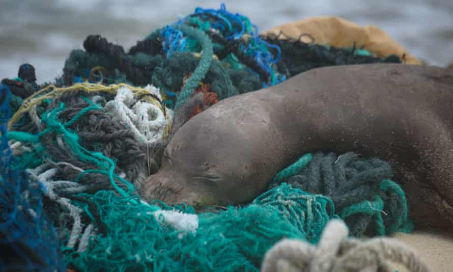 A juvenile Hawaiian monk seal rests on top of a pile of ghost nets. Photo taken under NOAA/NMFS permit no 22677.