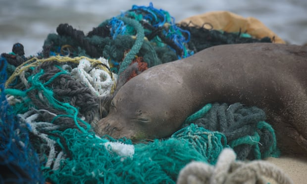 A juvenile Hawaiian monk seal rests on top of a pile of ghost nets. Photo taken under Noaa/NMFS permit no 22677. Photograph: Matthew Chauvin of PMDP