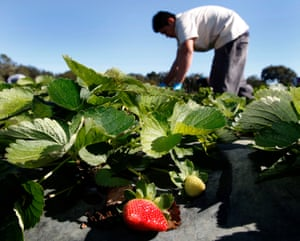 Strawberries are ripe for picking.