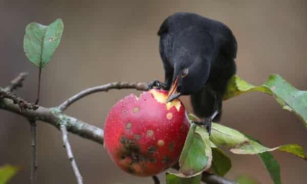 A young male blackbird picks at an apple.