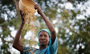 Winnowing rice in the northern Ghanaian town of Bolgatanga.