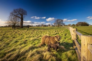 Shropshire, UK. Rare breed Ryeland sheep return to Boscobel House and the Royal Oak for the first time in more than 100 years, as the English Heritage site prepares to reopen to visitors on 12 April