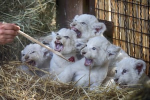 Demydiv, Ukraine A zoo worker feeds five newborn white lion cubs. Most white lions live in captivity as the rare colour mutation is widely believed to make it difficult for white lions to survive in the wild