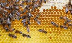 Honey trap: working bees on honey cells