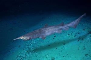 Goblin shark (Mitsukurina owstoni)– currently found off the Atlantic coasts of France, Spain, Portugal and Africa, and in the Indian Ocean off the coasts of New Zealand and Japan.