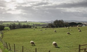 Sheep grazing in hills, near Scunthorpe, Lincolnshire.