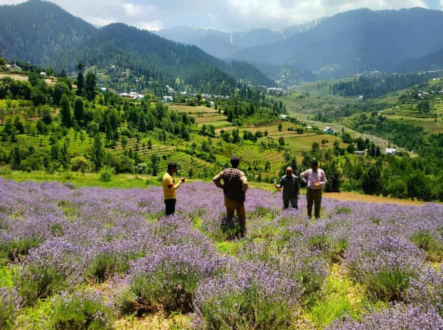 Inspecting the lavender crop in the hills of northern India