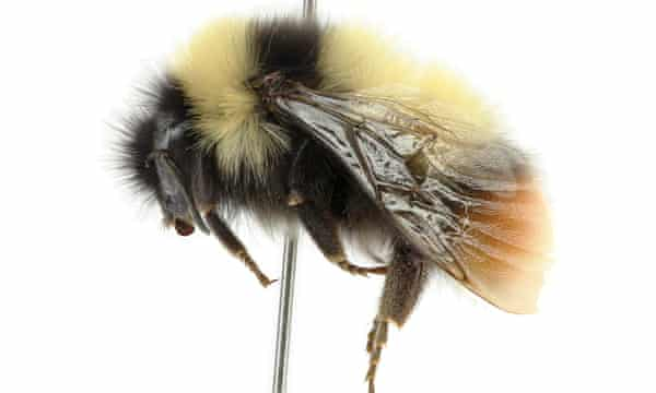 Bombus tibeticus is thought to be one of the highest living bumblebees