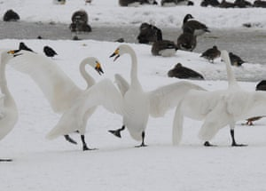A flock of Bewick swans that have turned back on their migration from the UK to the Arctic tundra due to Storm Darcy.