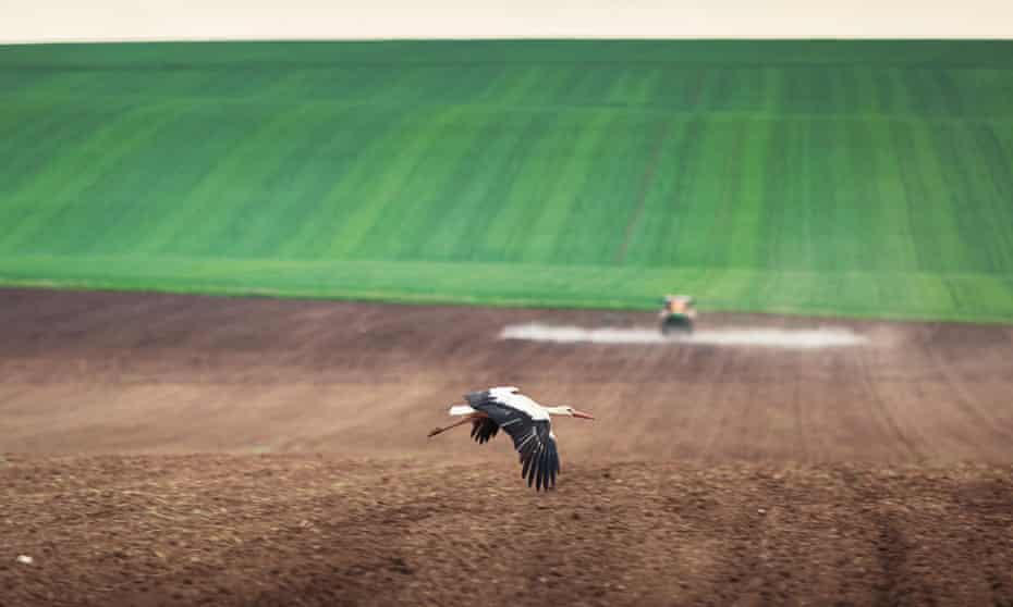 Stork flying over farmland