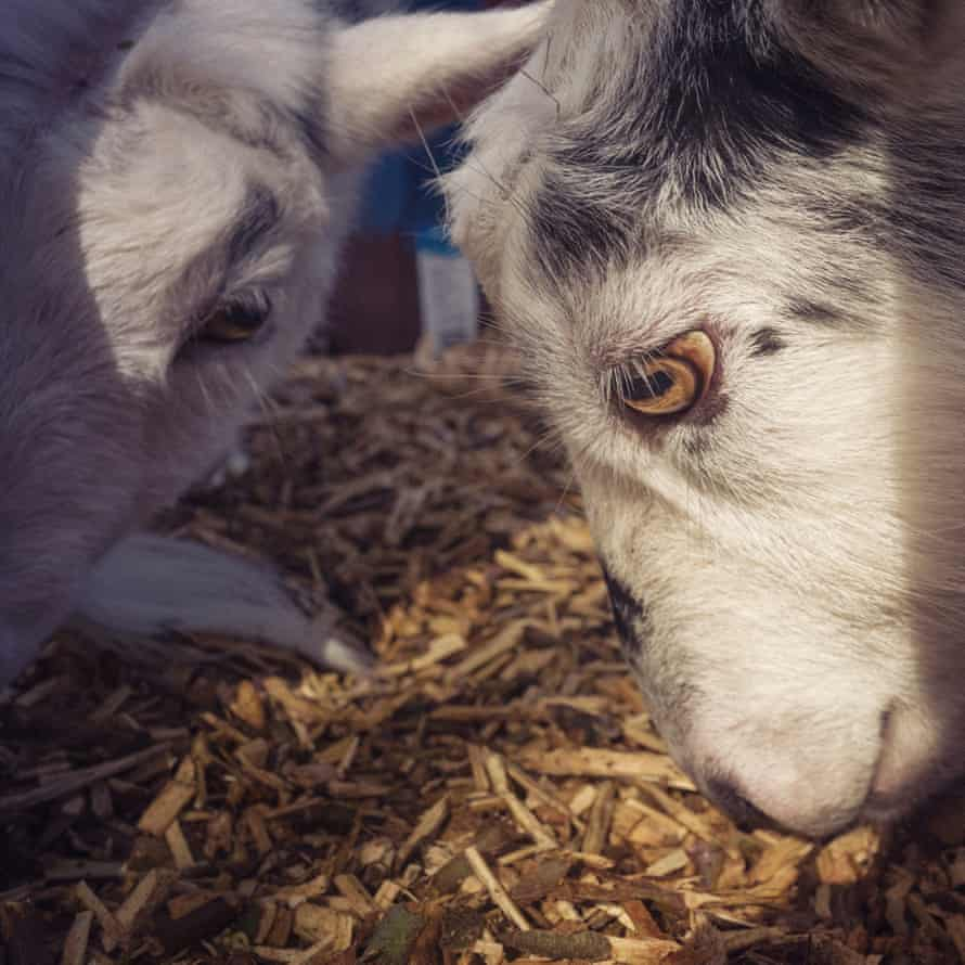 Nigerian Dwarf Goats and Pygmie goats have really missed the human interaction they would usually have with visitors