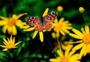 A Vanessa braziliensis butterfly is pictured at the San Martin square in Buenos Aires, Brazil