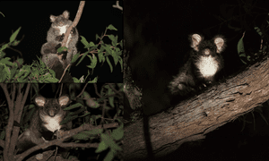 three greater gliders