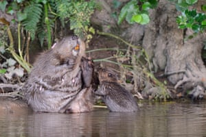 A Eurasian female beaver grooming on the margins of the River Otter in Devon as one of its kits swims close to her