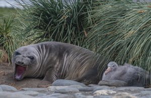 An elephant seal and a petrel chick on South Georgia
