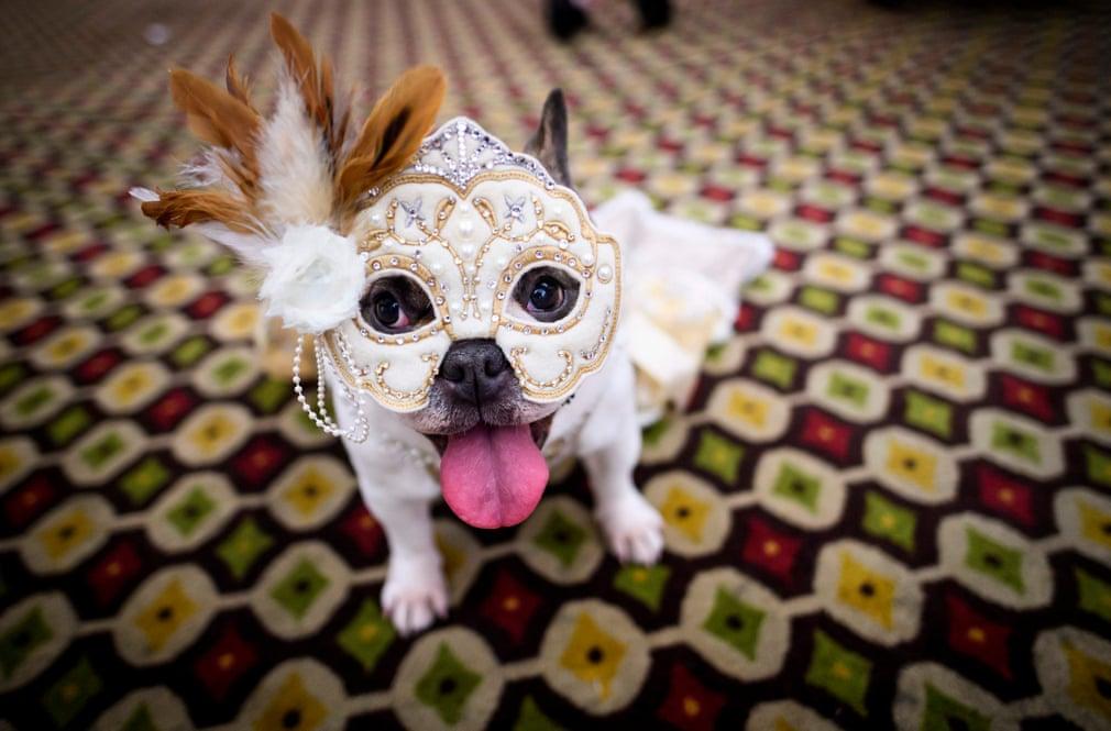 شانزدهمین فستیوال سالیانه سگ های پیت بول در نیوورک