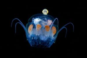 Hyperiidea on Nausithoe jellyfish