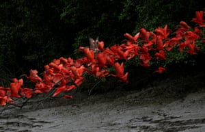 Scarlet ibis fly near the banks of a mangrove swamp at the mouth of the Calçoene river, Amapá state, northern Brazil