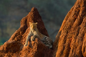 A female leopard rests on a termite mound at sunrise in Lower Zambezi national park, Zambia