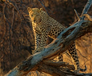 By Roger Green. This leopard image was taken on a safari in Namibia. It was late afternoon with the light failing fast when we spotted it in the bush. We followed it as it slowly walked to a fallen tree were it lay, sat and then stood, looking straight into my lens harry hunt arriunt@gmail.com